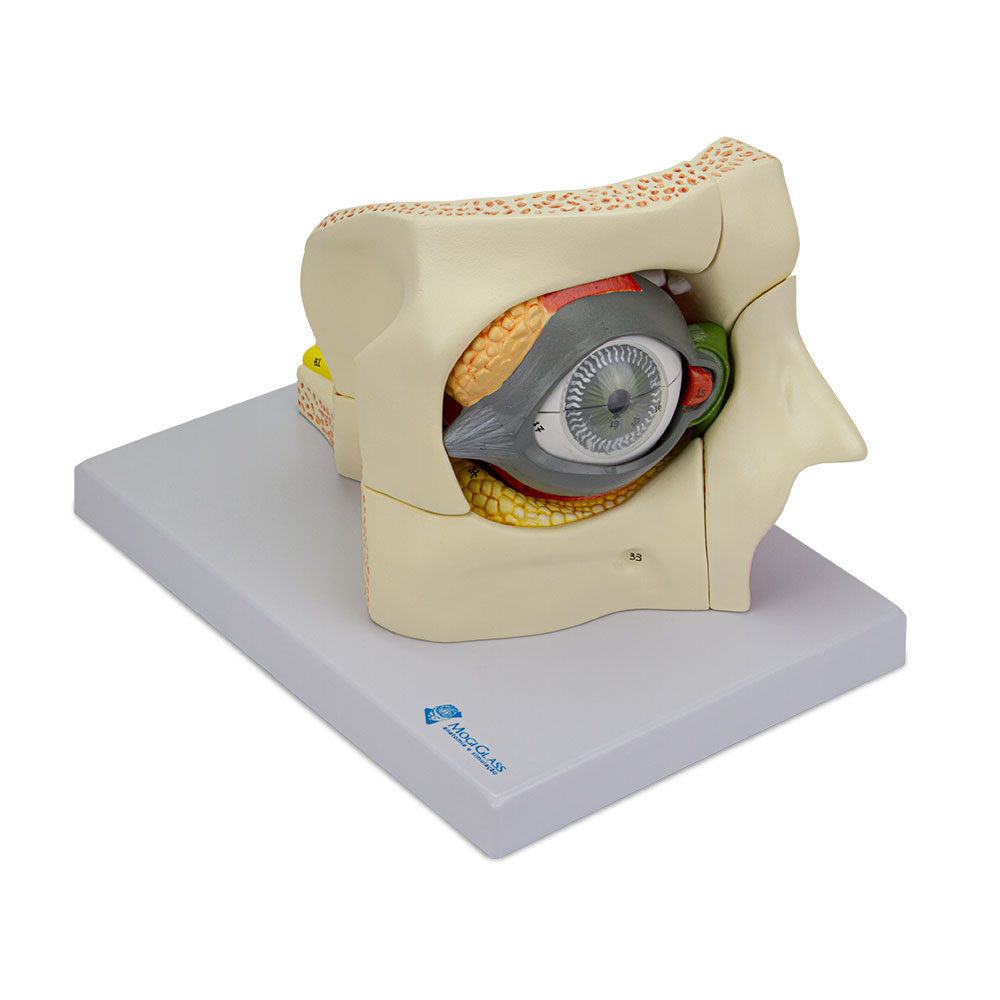 Olho com Pálpebra e Sistema Lacrimal 13 Partes