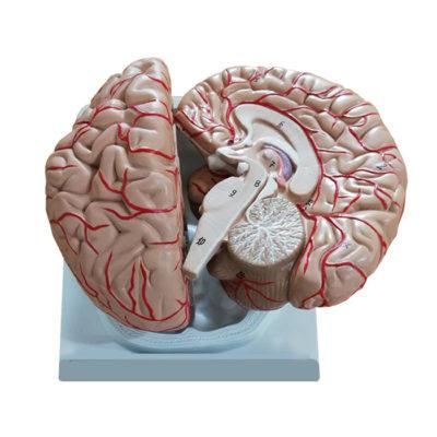 Cérebro com Artérias 2 Partes