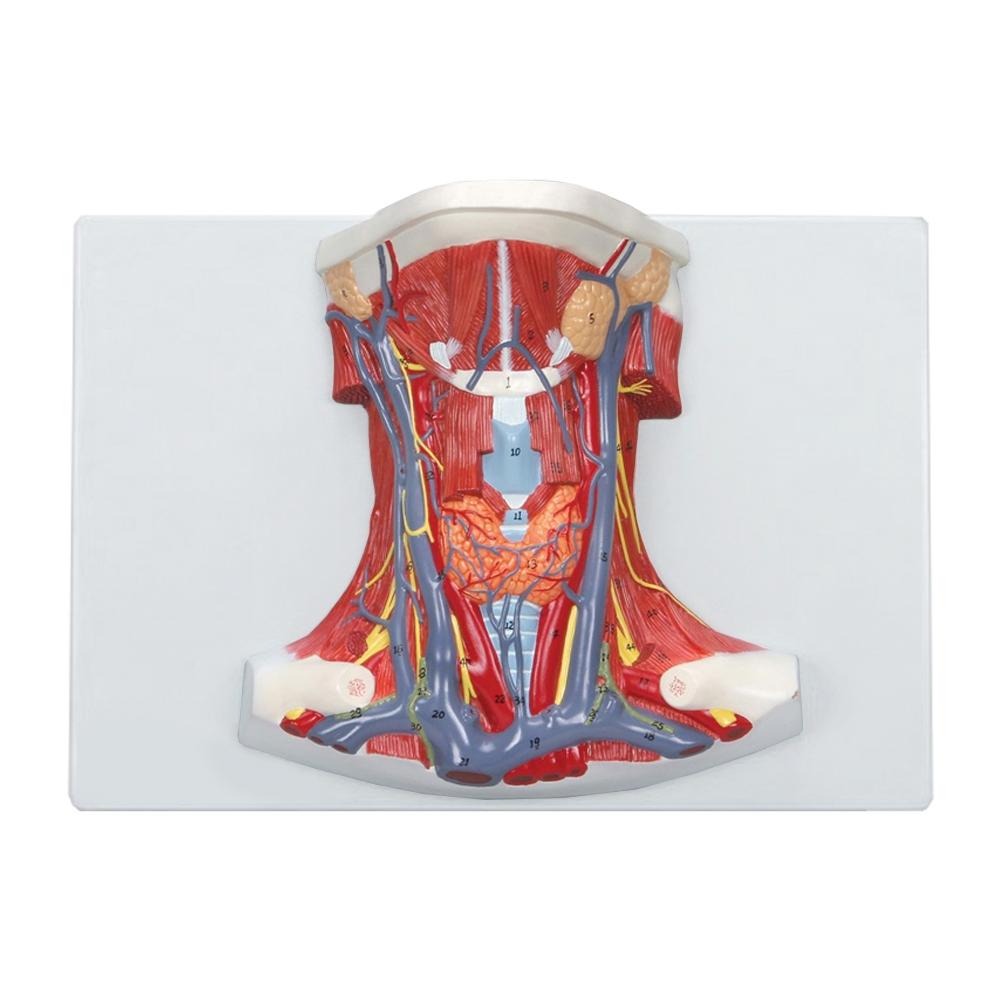 Anatomia do Pescoço, tamanho natural com uma dissecação ventral do pescoço que mostra em detalhes os músculos, estruturas vasculares, nervos e glândulas.