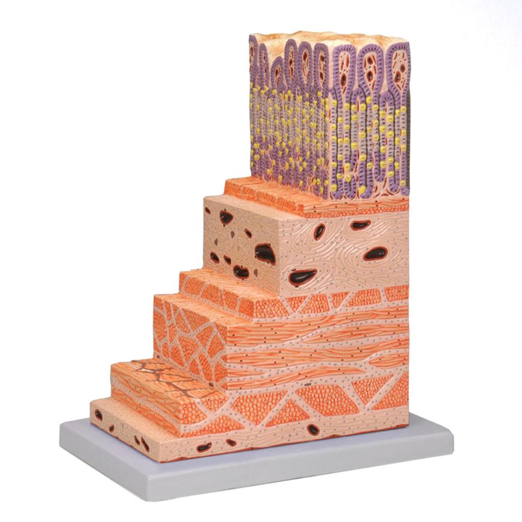 Estrutura da Parede do Estômago Ampliado 150 Vezes, é um modelo 150 vezes o tamanho natural, mostrando as principais estruturas da parede do estômago.