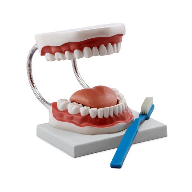Modelo de Higiene Bucal Ampliado 3 Vezes, modelo utilizado para ensinar a maneira correta de escovar os dentes, uma escova de dentes gigante está incluída.