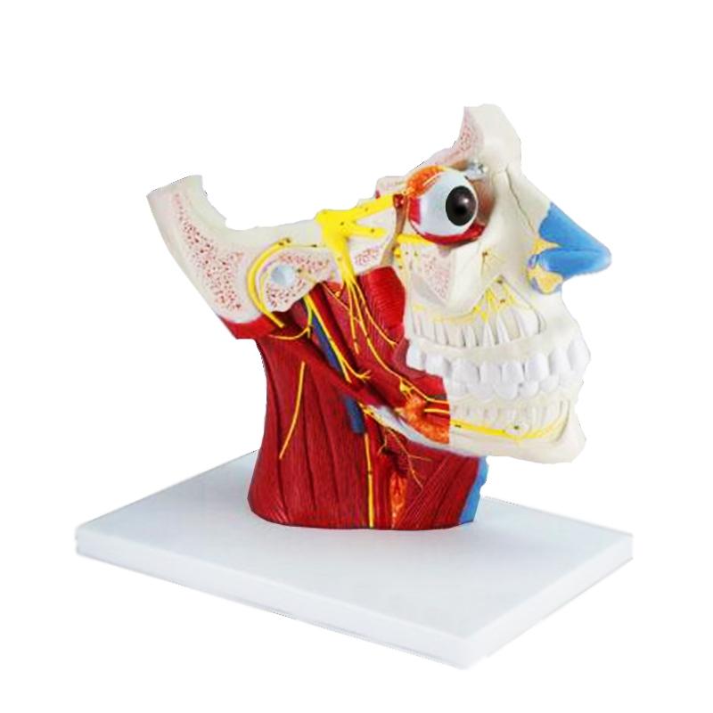 Musculatura da Cabeça com Nervos Craniano e Autônomo, é um modelo mostrando a dissecação de meia cabeça humana 2 vezes e meia o tamanho natural.