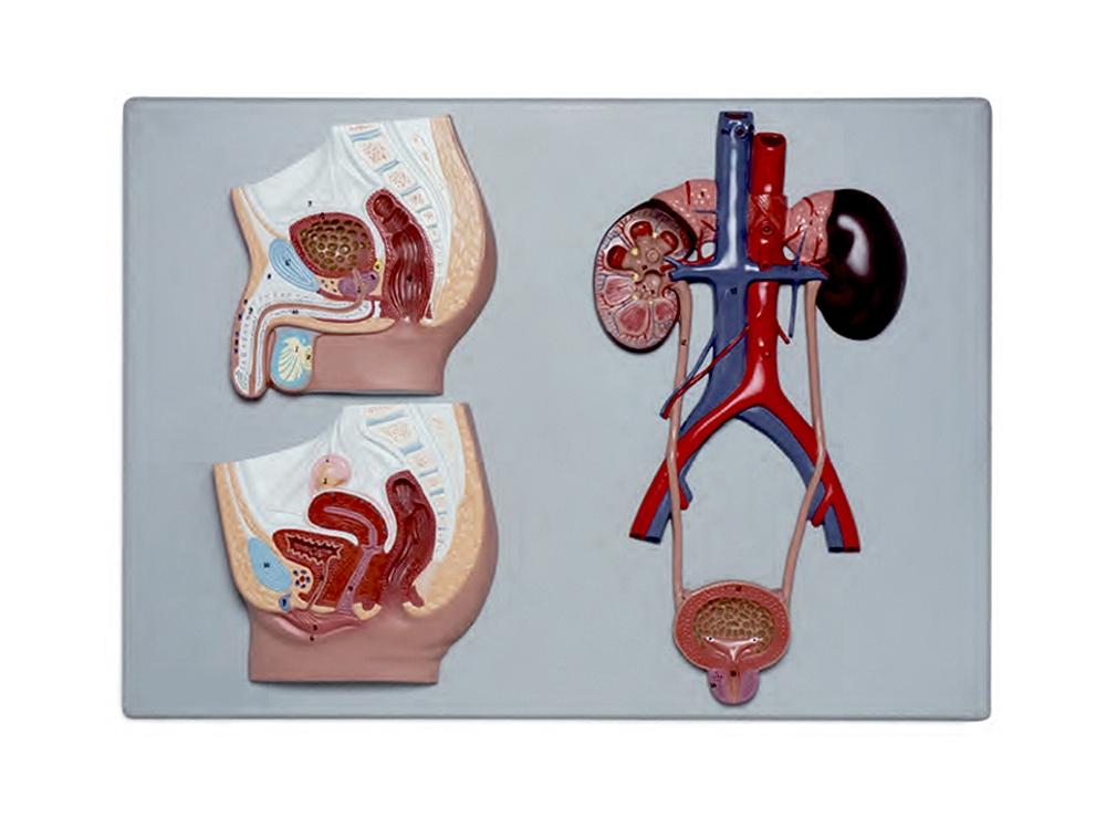 Seção da Pélvis Masculina e Feminina com Trato Urinário, é um modelo em tamanho natural que apresenta seções de ambas as pélvis: sexo masculino e sexo feminino.