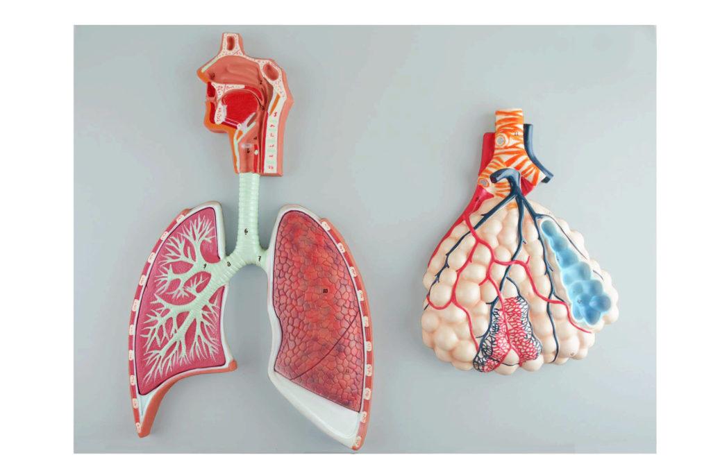 Sistema Respiratório com Alvéolo Ampliado 150 vezes, modelo em relevo com a cavidade oro-nasal, laringe e traqueia, brônquio primário e árvore brônquica.