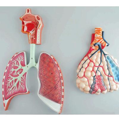 Sistema Respiratório Alvéolo Ampliado 150 Vezes