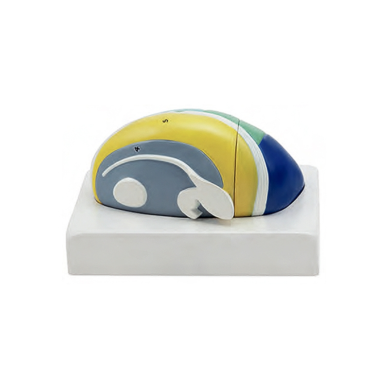 Tálamo 2 Partes, é um modelo com 5 vezes o tamanho natural em 2 partes e mostra as várias aéreas funcionais do tálamo em cores distintas.