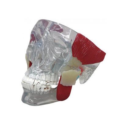 Crânio Clássico com Músculos da Mastigação (ATM)