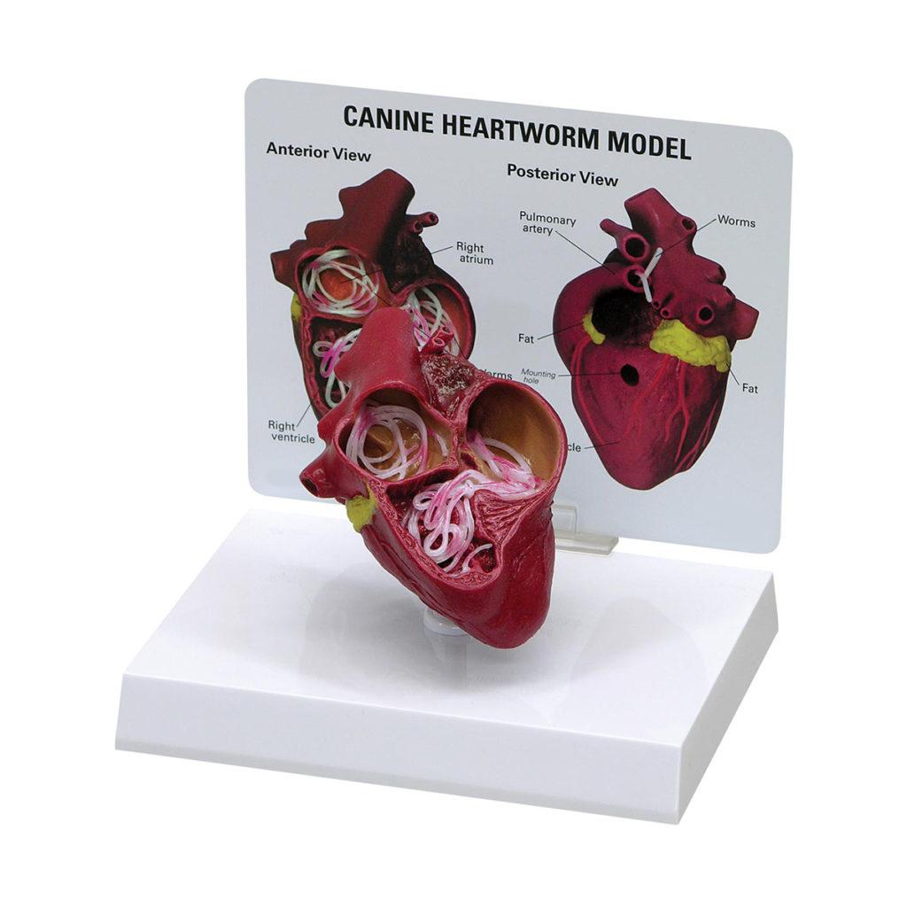 Coração Canino com Dirofilária é um modelo anatômico de um coração canino adulto de tamanho médio que foi infectado com o parasita dirofilária immitis.
