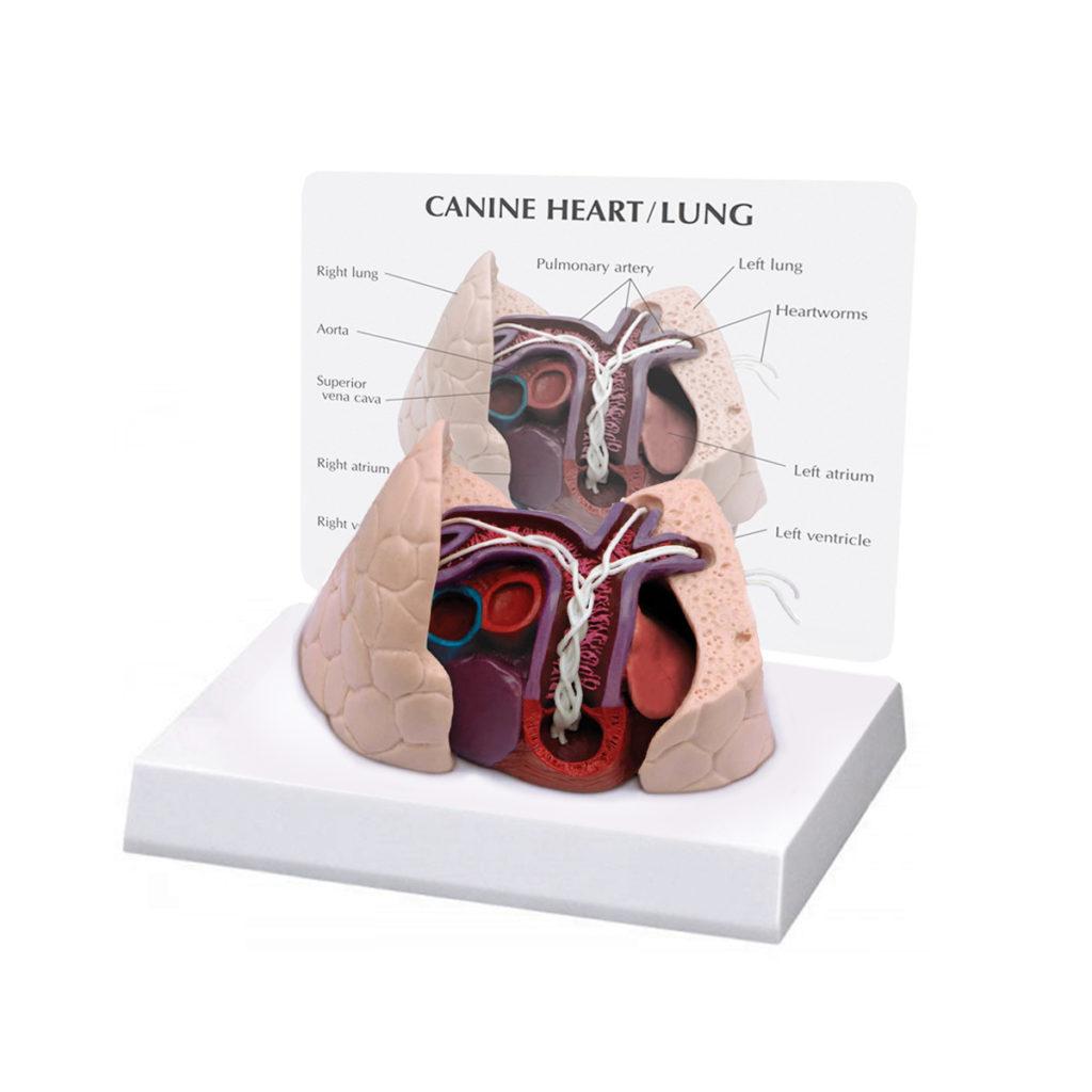 Modelo de Coração e Pulmão Canino, é um modelo de coração canino adulto com pulmões médios infestados com dirofilárias, dirofilaria immitis.