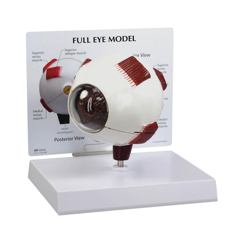 Modelo Integral do Olho Humano, é um modelo de olho normal superdimensionado com corte medial para permitir a visualização da anatomia interna.