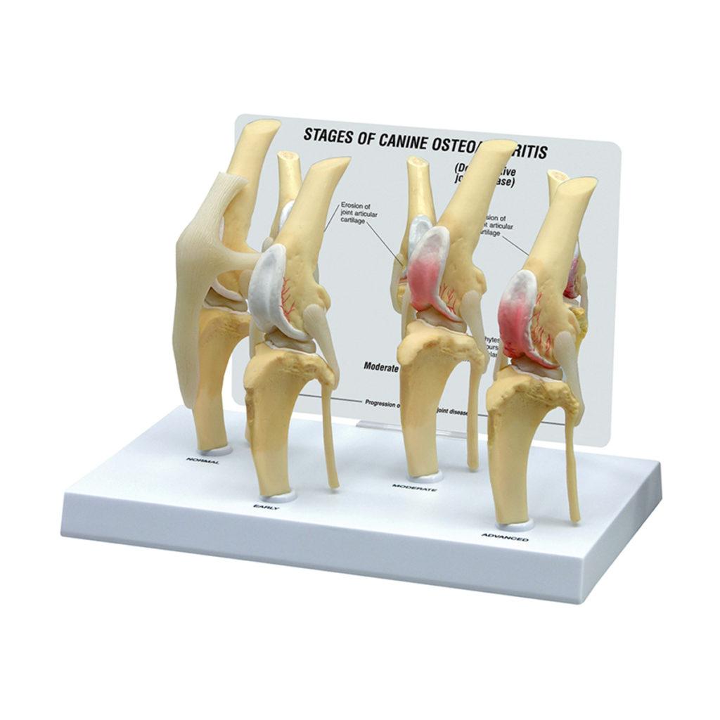 Modelo de Joelho Canino em 4 Condições, é um conjunto de 4 modelos em tamanho natural que ilustram doenças degenerativas das articulações, osteoartrose.