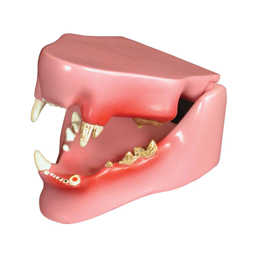 Modelo de Mandíbula Felina, é uma mandíbula de tamanho médio, ilustrando dentes saudáveis no lado direito e dentes doentes e danificados no esquerdo.
