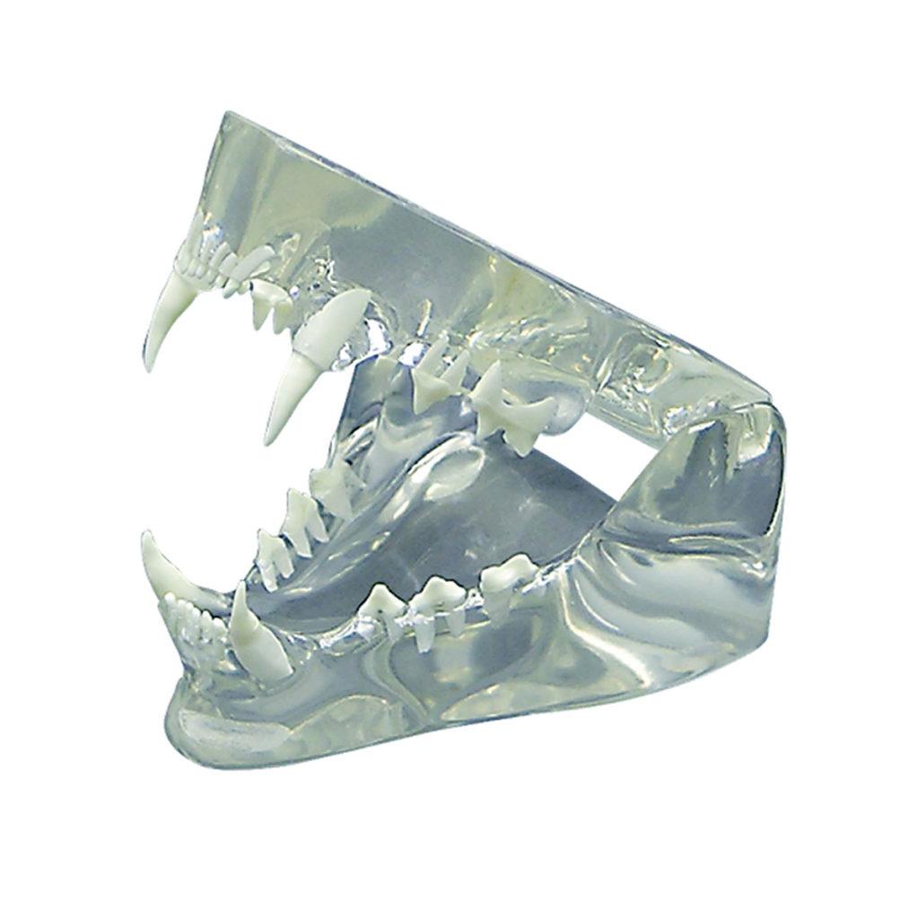 Modelo de Mandibúla Felina Translúcida, mandíbula saudável com dobradiça para demonstração das raízes dos dentes, incisos, caninos, pré-molares, molares.
