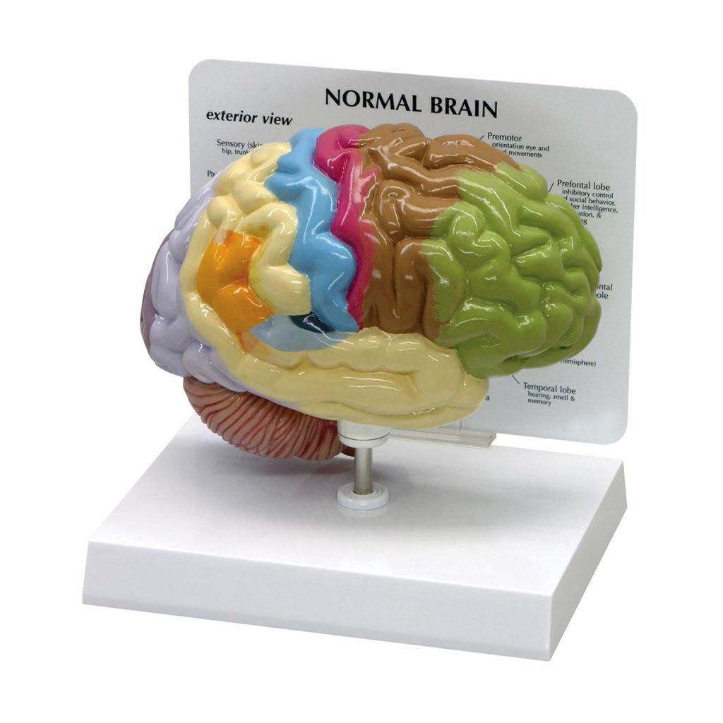Modelo de Meio Cérebro Áreas Sensoriais e Motoras, metade direita de um cérebro saudável exibindo as áreas codificadas por cores didáticas para cada região.