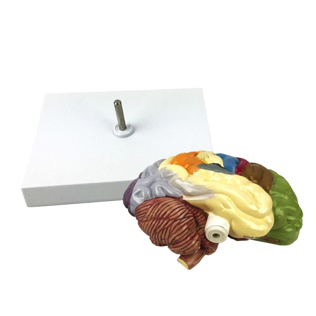 Modelo de Meio Cérebro Áreas Sensoriais e Motoras 02 cartão sem base