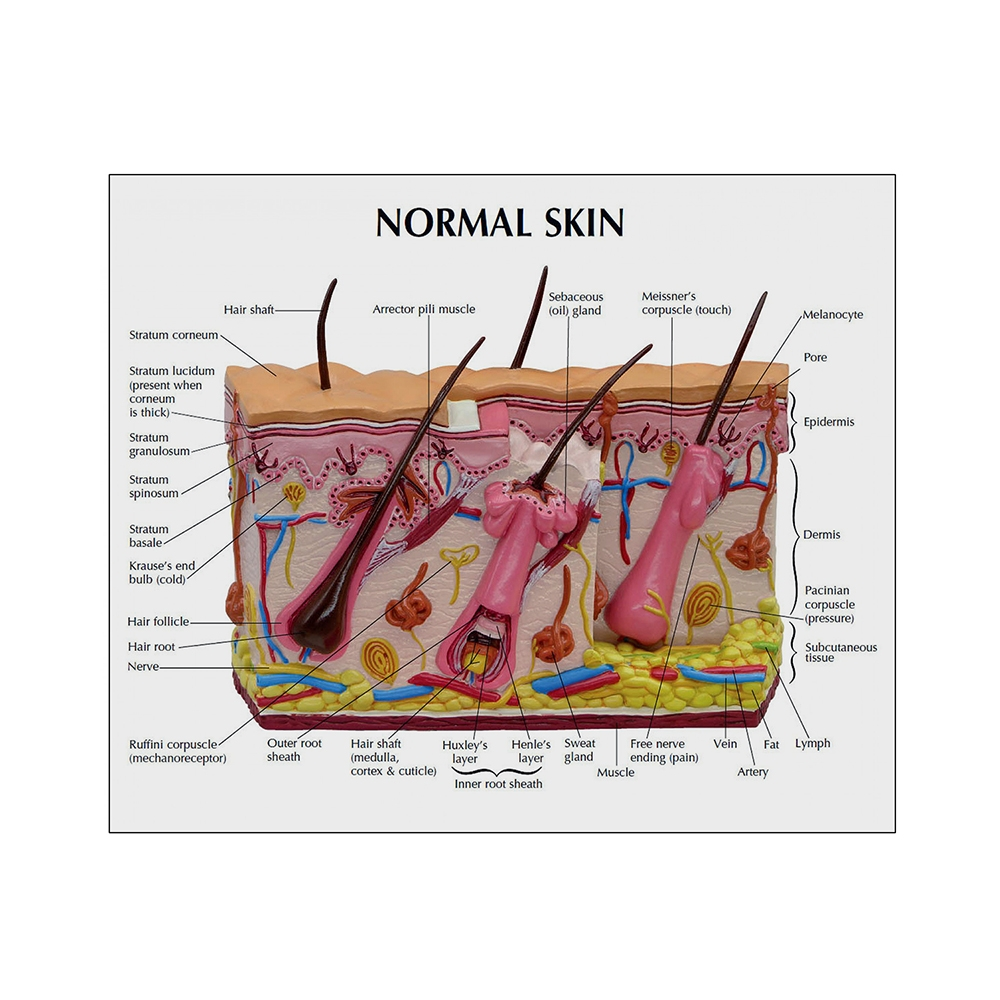Modelo de Pele Queimada e Normal cartão 02