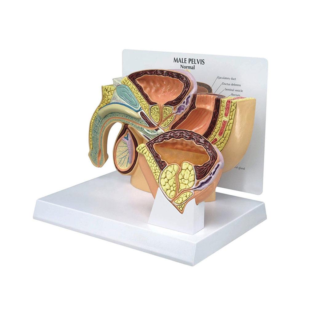Modelo de Pelve Masculina HBP, é um modelo numa seção transversal médio-sagital mostrando a anatomia da pelve e da próstata.