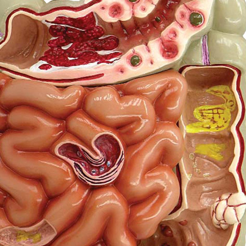 Trato Gastro Intestinal detalhe