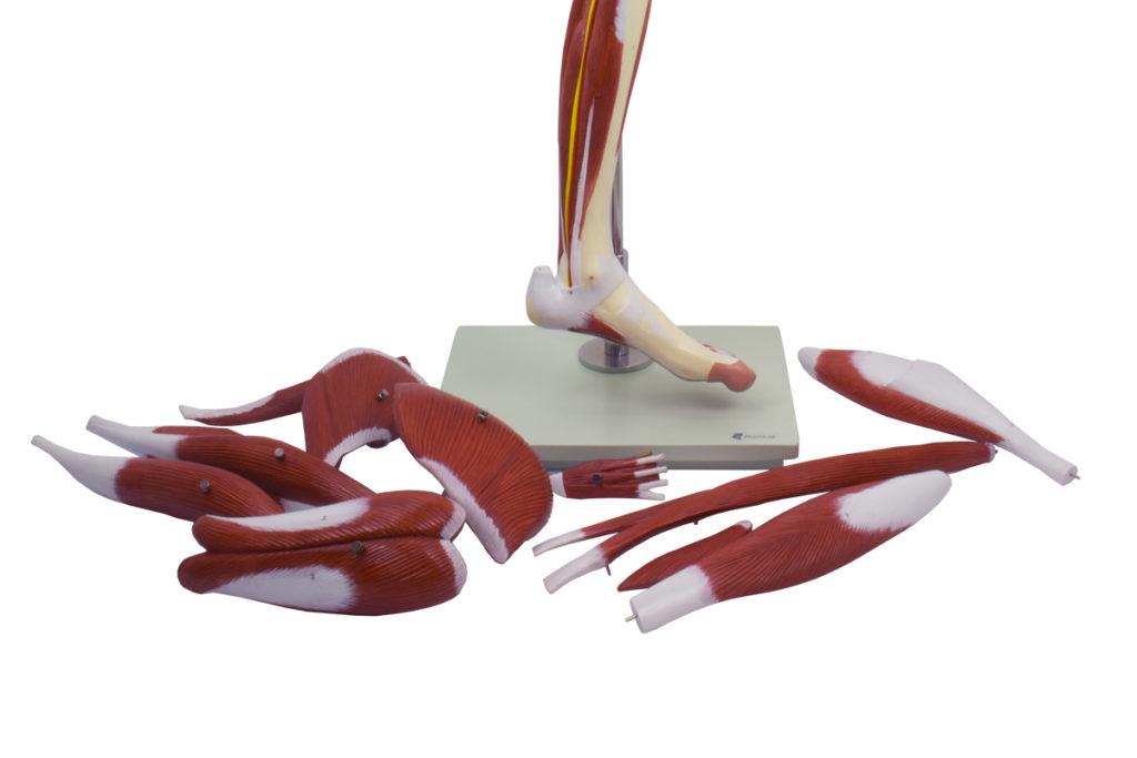 Perna de Luxo com Músculos 13 Partes, em tamanho natural, desmontável, é um suporte para a anatomia da musculatura de uma perna humana.