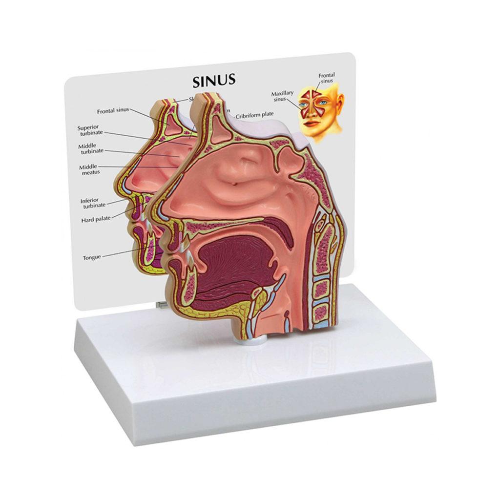 Seção Transversal de Seio Nasal, é um modelo de corte normal de tamanho real que mostra uma seção mediana pelas passagens nasais.