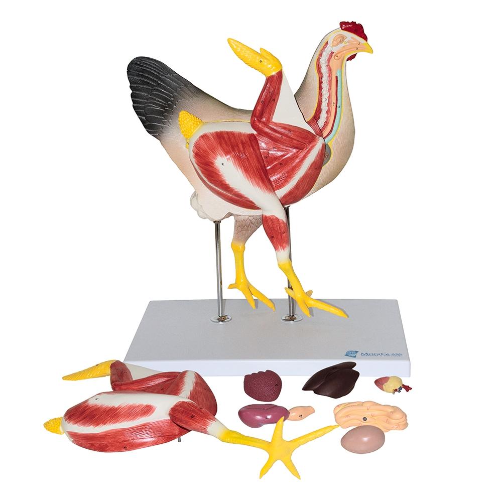 Anatomia da Galinha 8 Partes, é um modelo em tamanho natural de 8 partes com um corte medial que descreve em detalhes a anatomia interna de uma galinha.