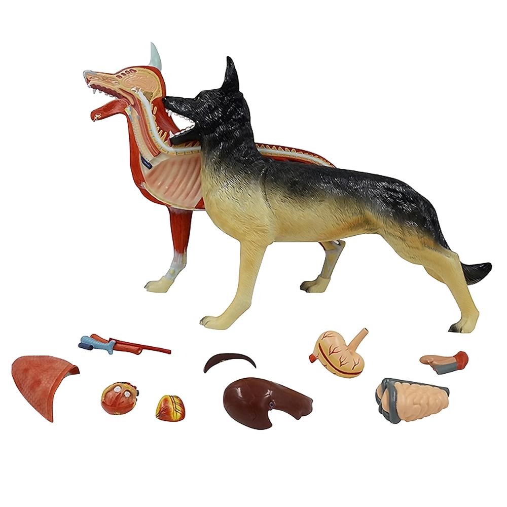 Anatomia do Cachorro 11 partes, é um modelo de um cachorro em tamanho natural, apresentando a anatomia muscular de um cão.