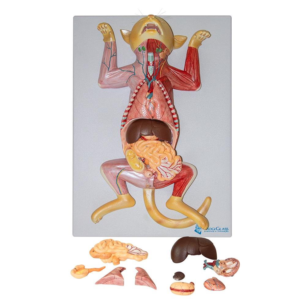Anatomia do Gato 10 partes, é um modelo de dissecação em tamanho natural, extremamente realista apresentando mais de 100 detalhes anatômicos.