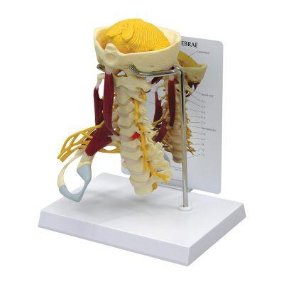 Coluna Cervical com Músculos luxo