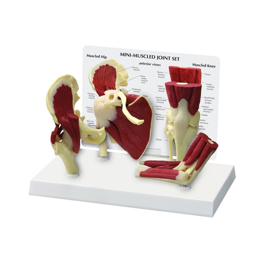 Mini Conjunto de Articulações com Músculos, é um conjunto de modelos com aproximadamente 50% do tamanho natural do quadril, cotovelo, ombro e joelho.