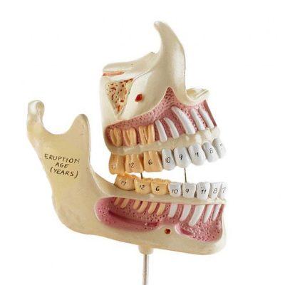 Desenvolvimento da Dentição, 4 modelos em tamanho natural, montados em uma base, com mandíbulas e dentes desde o nascimento até a idade adulta.