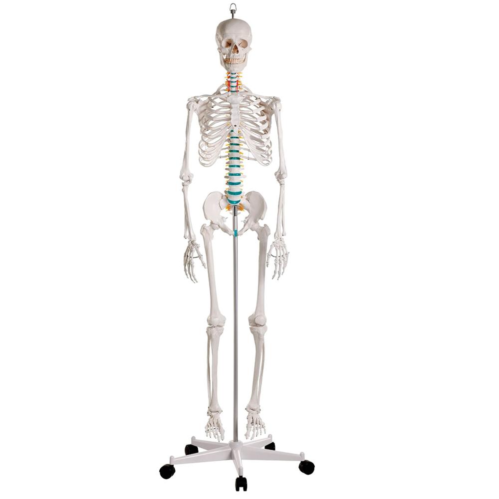 Esqueleto Adulto de Luxo Montado em Suporte com Rodízios, é uma reprodução de alta qualidade de um esqueleto adulto masculino, em tamanho natural.