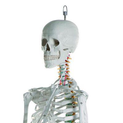 Esqueleto Adulto de Luxo Montado em Suporte torso