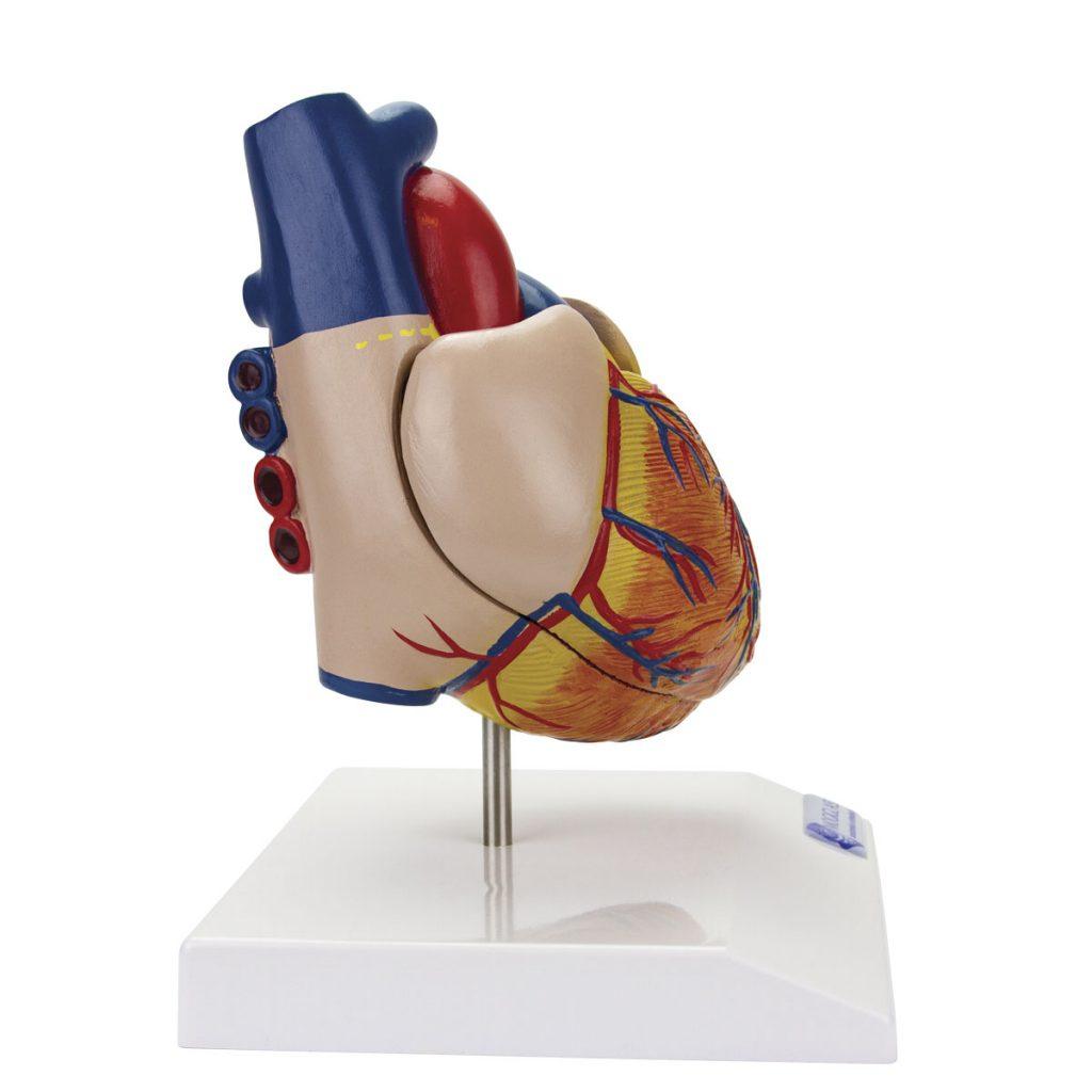 Coração Clássico com Sistema Condutor 2 Partes lado direito