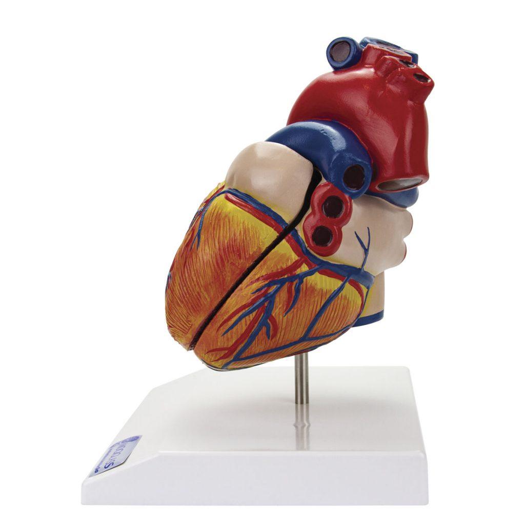 Coração Clássico com Sistema Condutor 2 Partes lado esquerdo