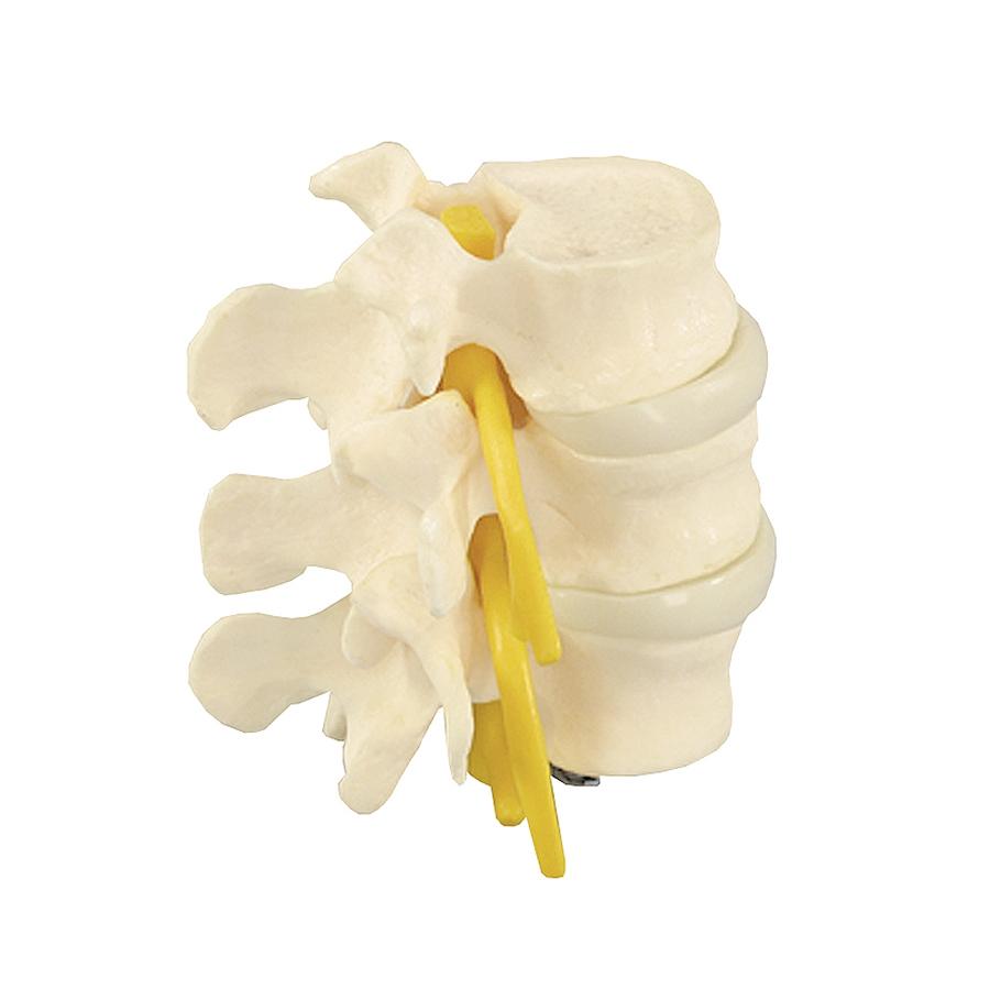 Modelo Básico de 3 Vértebras