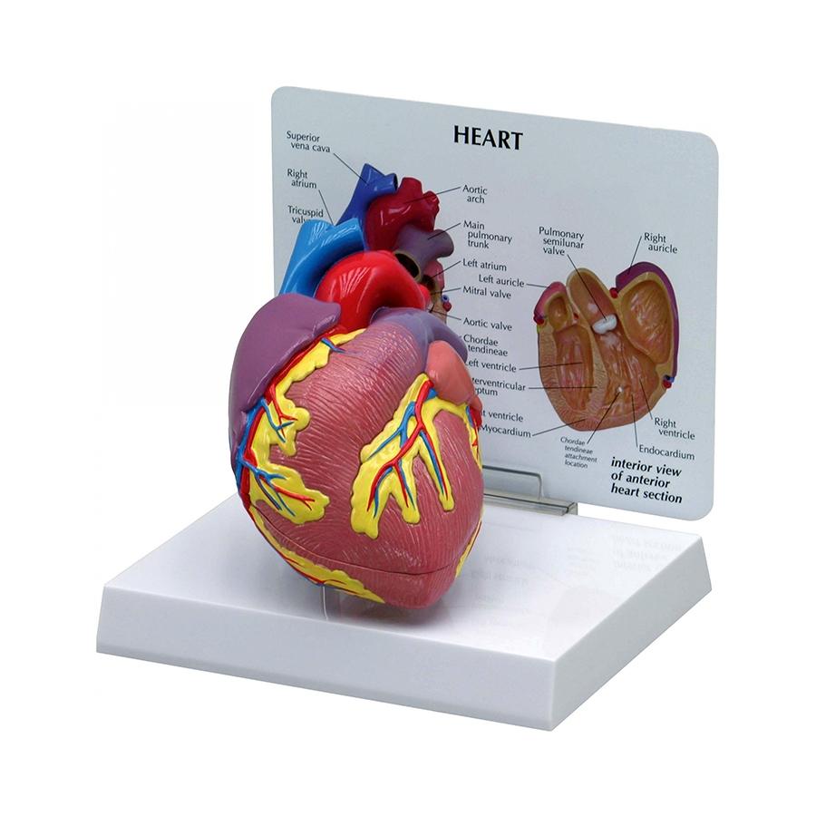 Coração Normal, é um modelo em tamanho natural em 2 partes que se abre na metade para mostrar as câmaras internas e as válvulas do coração.