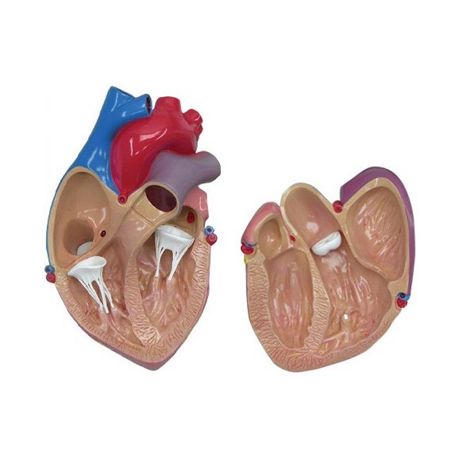 modelo coração