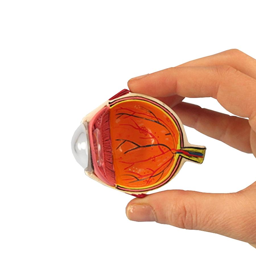 seção do olho