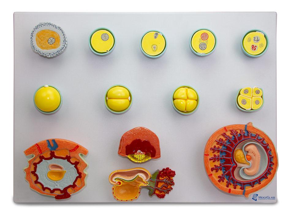 Desenvolvimento embrionário 13 estágios