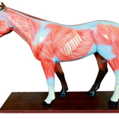 Anatomia do Cavalo 12 Partes BI58