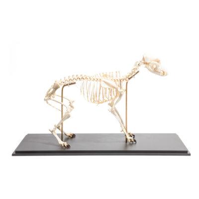 Esqueleto Canino com Ossos Naturais em Tamanho Natural