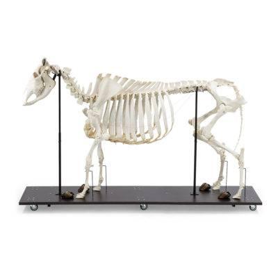 Esqueleto Natural Articulado Bovino (Bos Taurus)