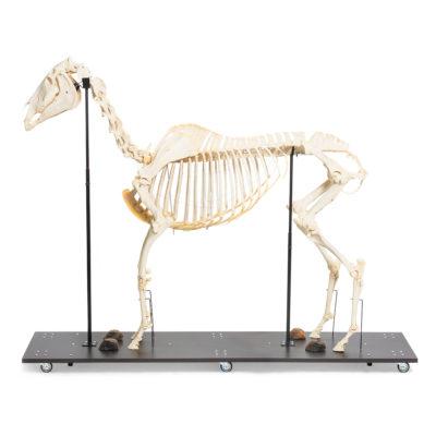 Esqueleto-Natural-Articulado-de-Equino Equus Ferus Caballus