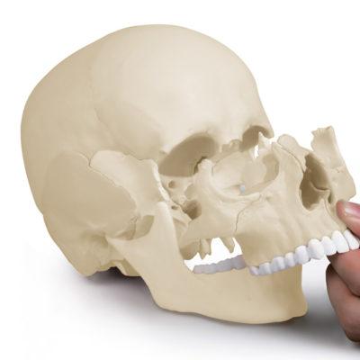 Crânio de encaixe em 22 partes versão anatômica é um modelo especialmente projetado com ímãs para ser fácil de montar e desmontar.
