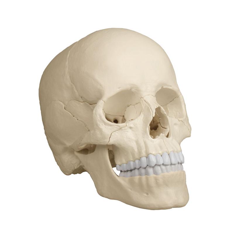 Crânio de encaixe em 22 partes versão antômica é um modelo especialmente projetado com ímãs para ser fácil de montar e desmontar.