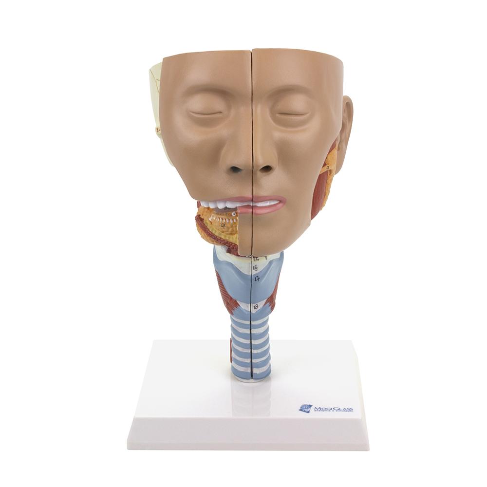 Musculatura da Cabeça com Faringe 2 Partes, é um modelo de cabeça em tamanho natural é dissecado ao longo do plano sagital em 2 metades.