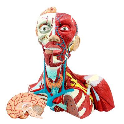 Musculatura do Tórax, Pescoço e Cabeça
